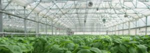 Controlling algae growth in Greenhouses – Safe, Organic, and Cost Effective
